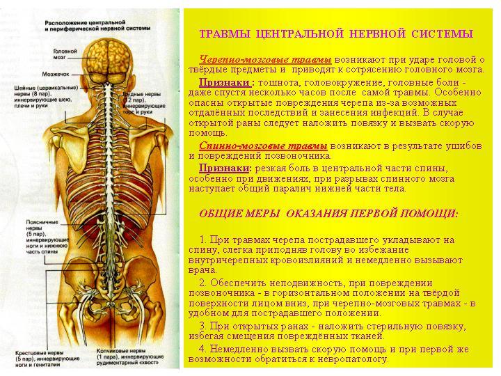 Система Нервная Центральная (Цнс) фото