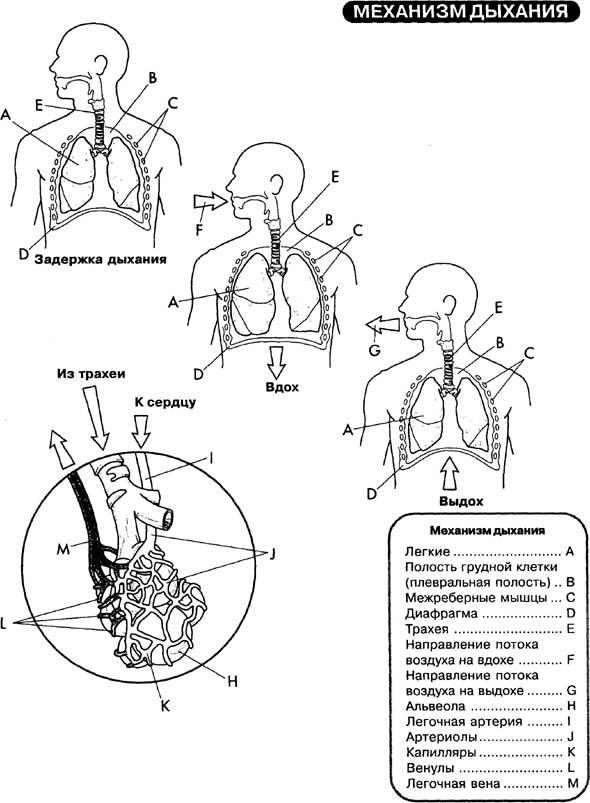 Дыхательная система объединяет