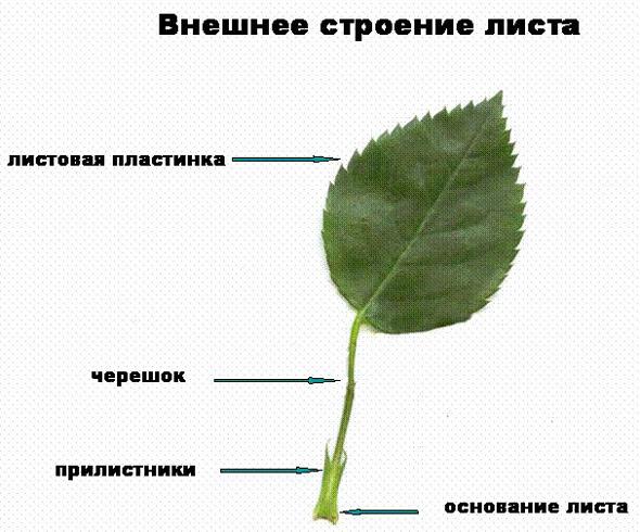 Снаружи лист имеет покровную ткань (верхняя эпидерма) в которой характерно наличие катикулы и устьиц.