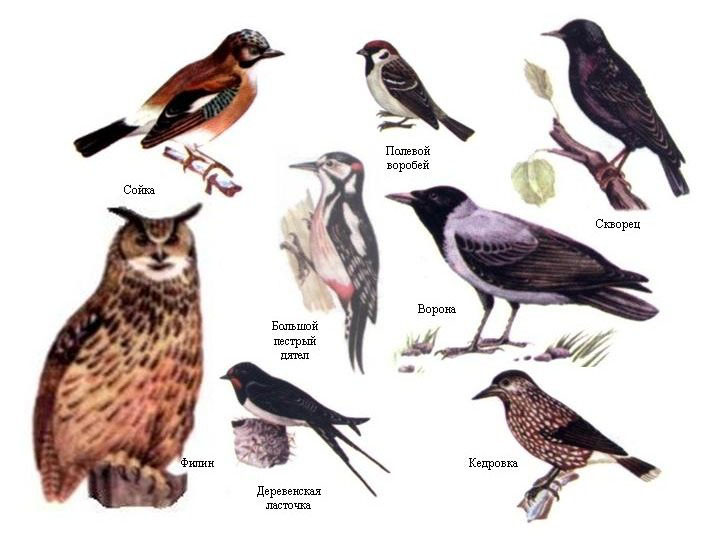 Дан список и рисунки птиц