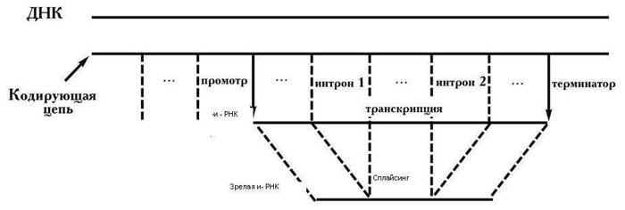 строения гена эукариот