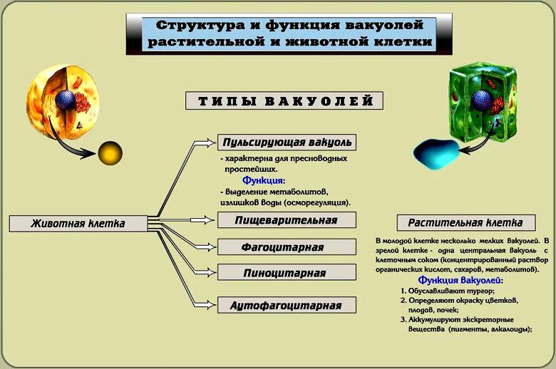 Одномембранные органоиды имеющиевид