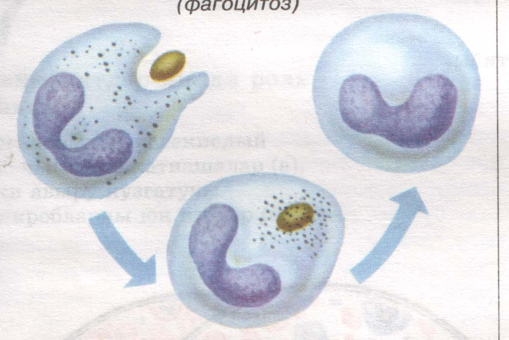 Фагоцитоз фото