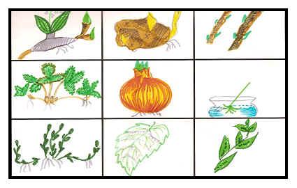 Что такое вегетативное размножение растений