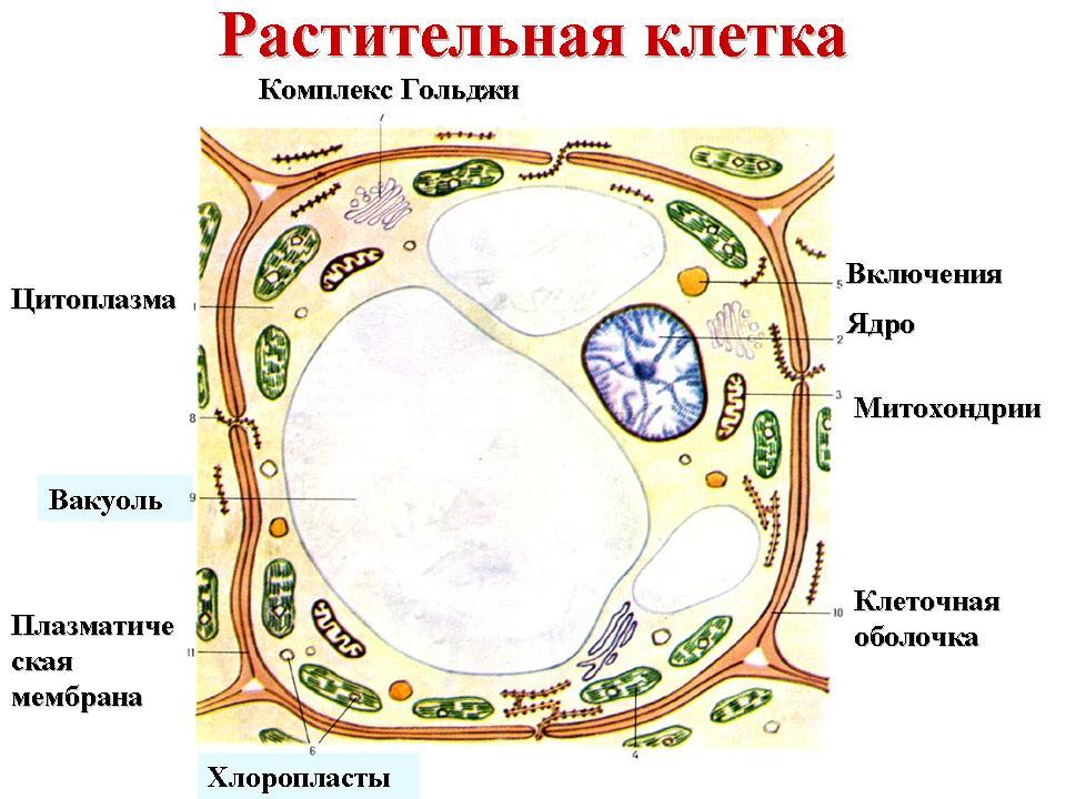 Глава 2: Клеточное строение растений.  Особенности строения растительной клетки.