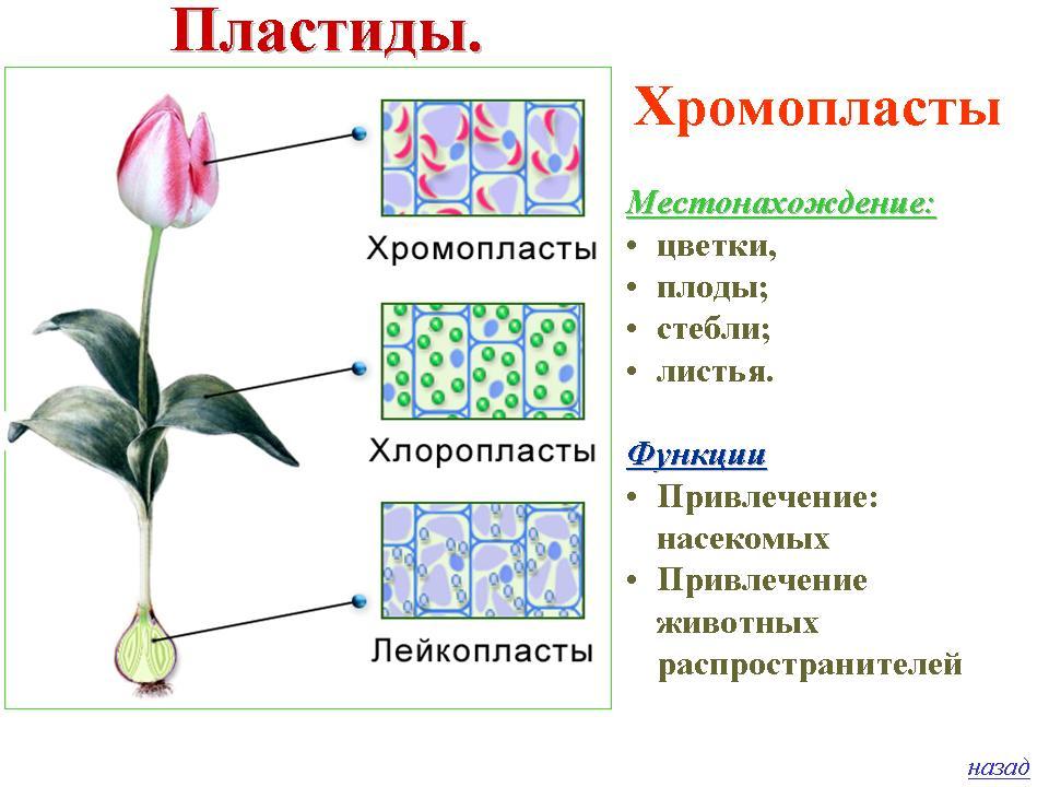 Пластиды- органоиды, присущие