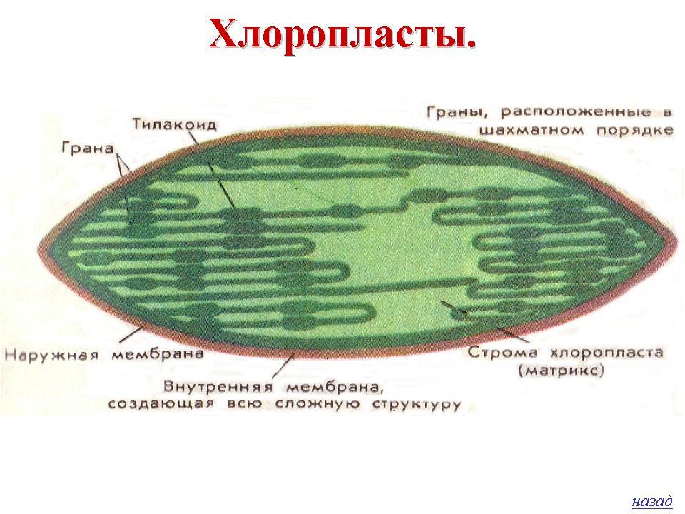 Цвет хлоропластов