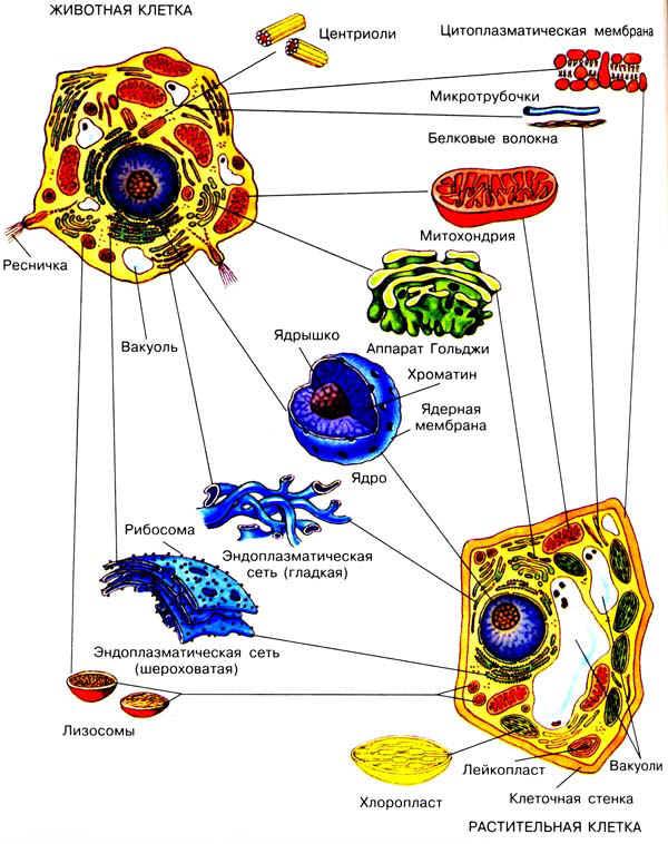 состава и строение клеток