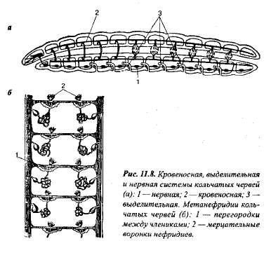 4.1. ... В отличие от плоских и круглых червей у аннелид появляется...
