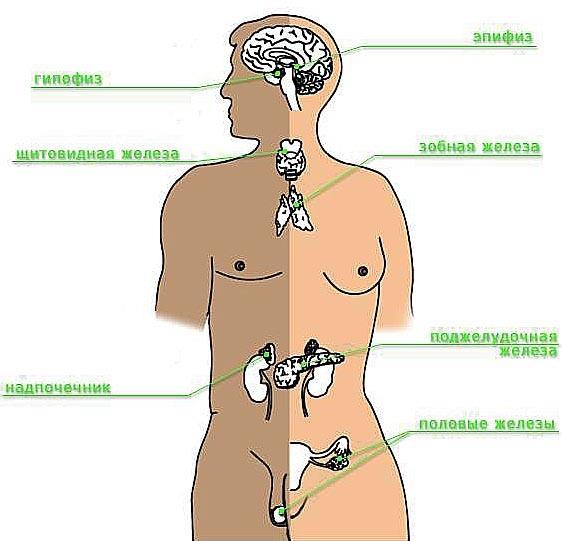 органы. анимации и рисунки