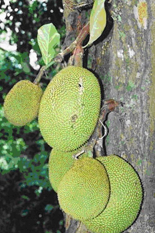 Nangka - Artocarpus heterophyllus.