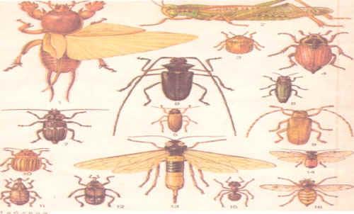 4 – майский жук,