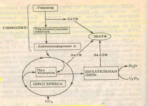 Схема аэробного дыхания.