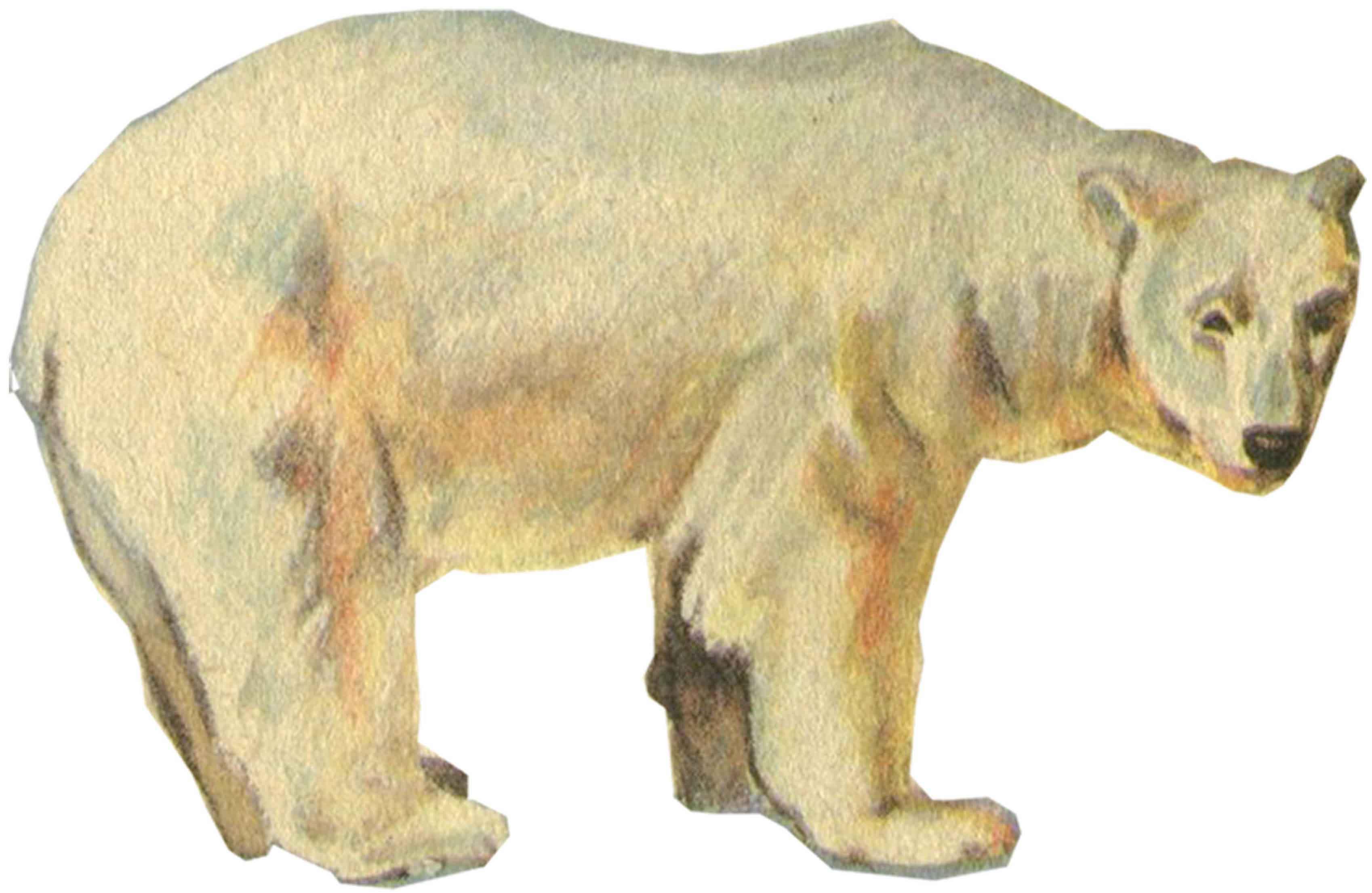 ... на земле. ( Рисунок 1. Белый медведь: festival.1september.ru/articles/531296