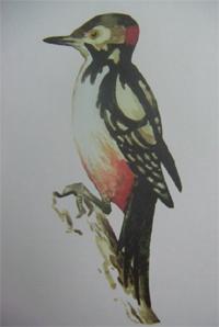 картинки нарисованные дятел