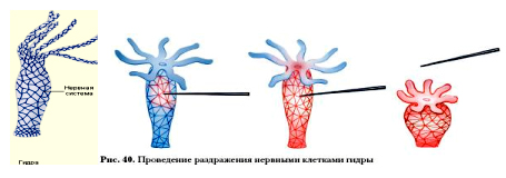 Гідра - це організм, який має променеву симетрію