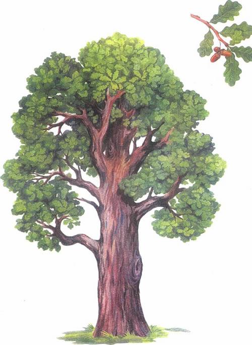 Как размножать дубы