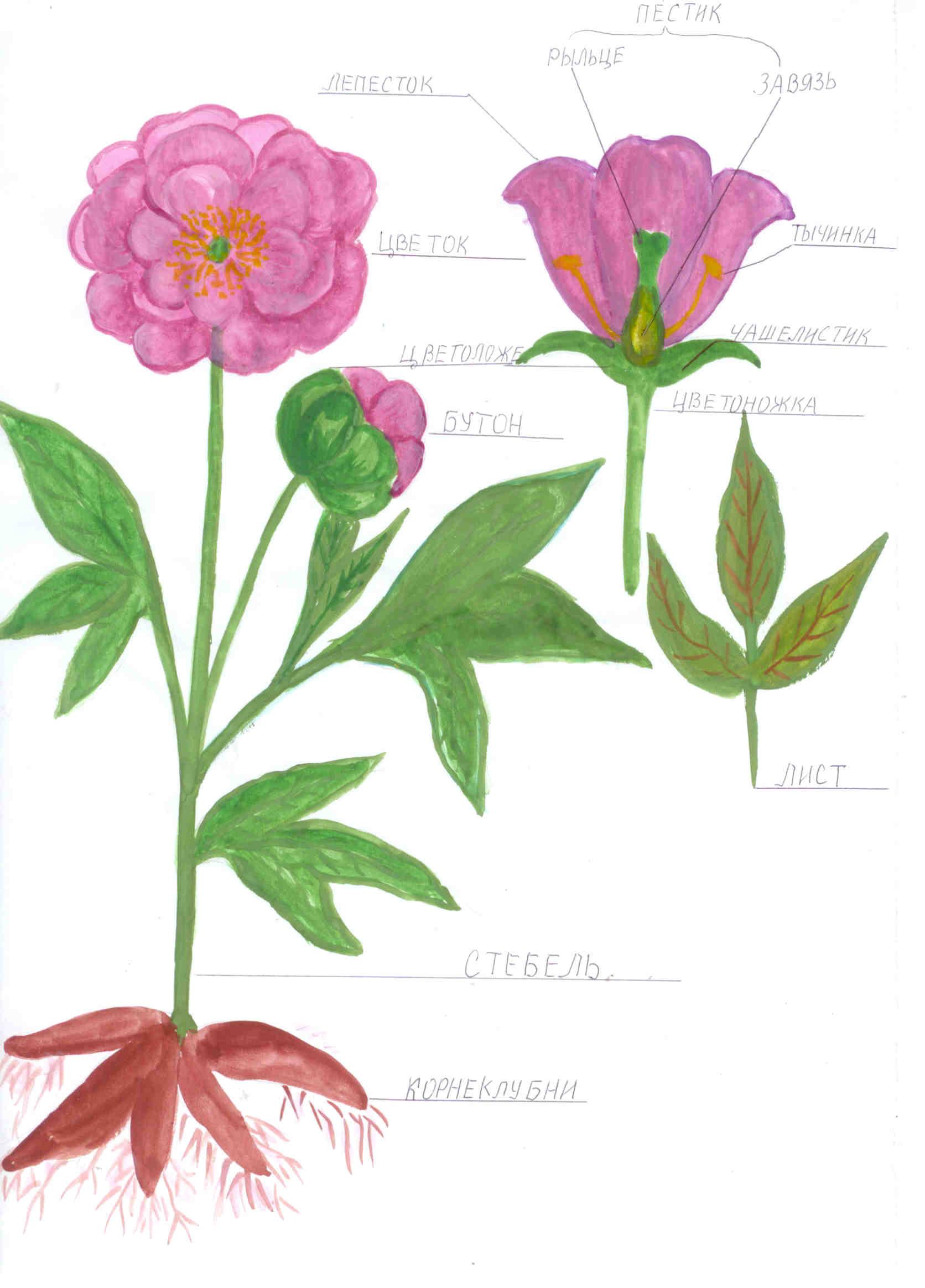 Строение цветка 6 класс картинки 5
