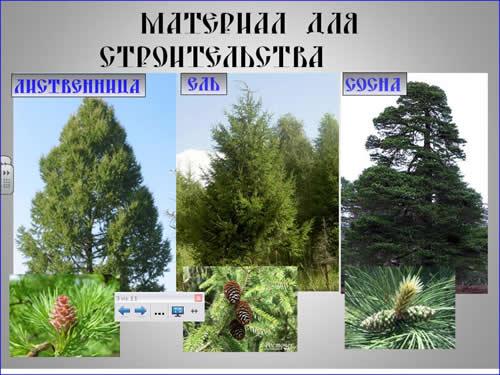 породы хвойных деревьев фото с названиями