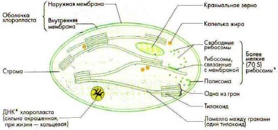 световая стадия фотосинтеза