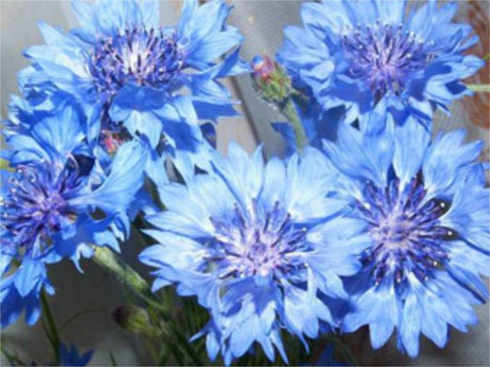 Скачать презентации с гиперссылками на тему цветы