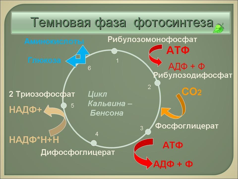 Фотосинтез. 11-й класс