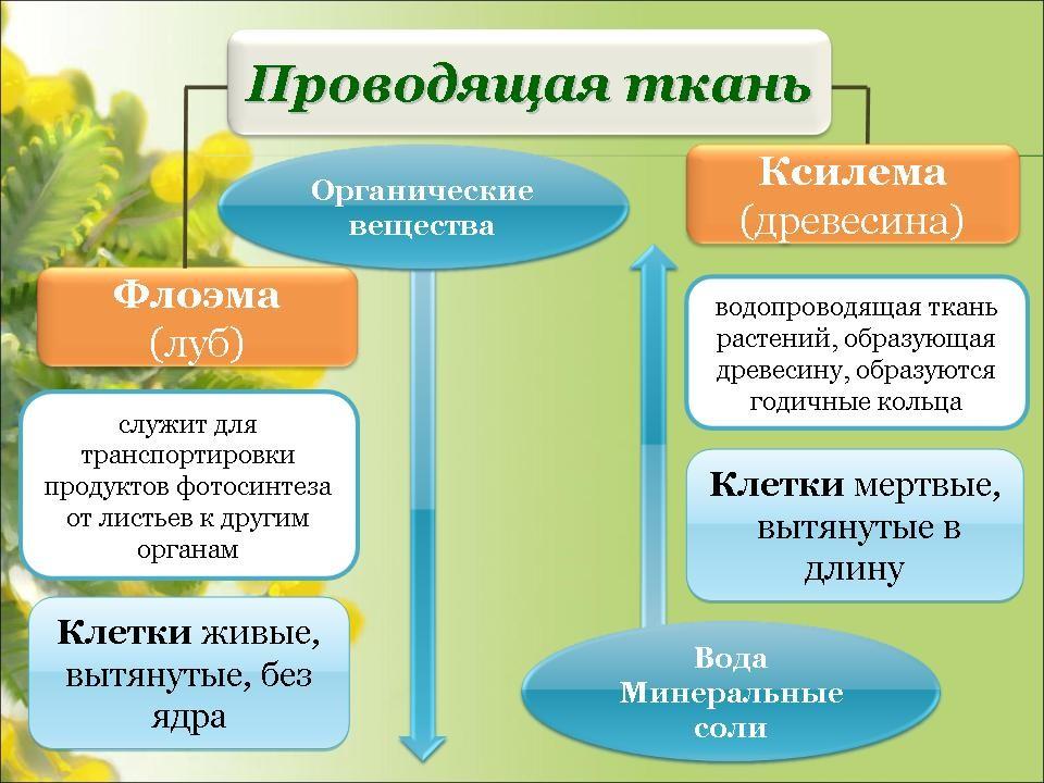 Презентация Ткани 5 Класс Биология