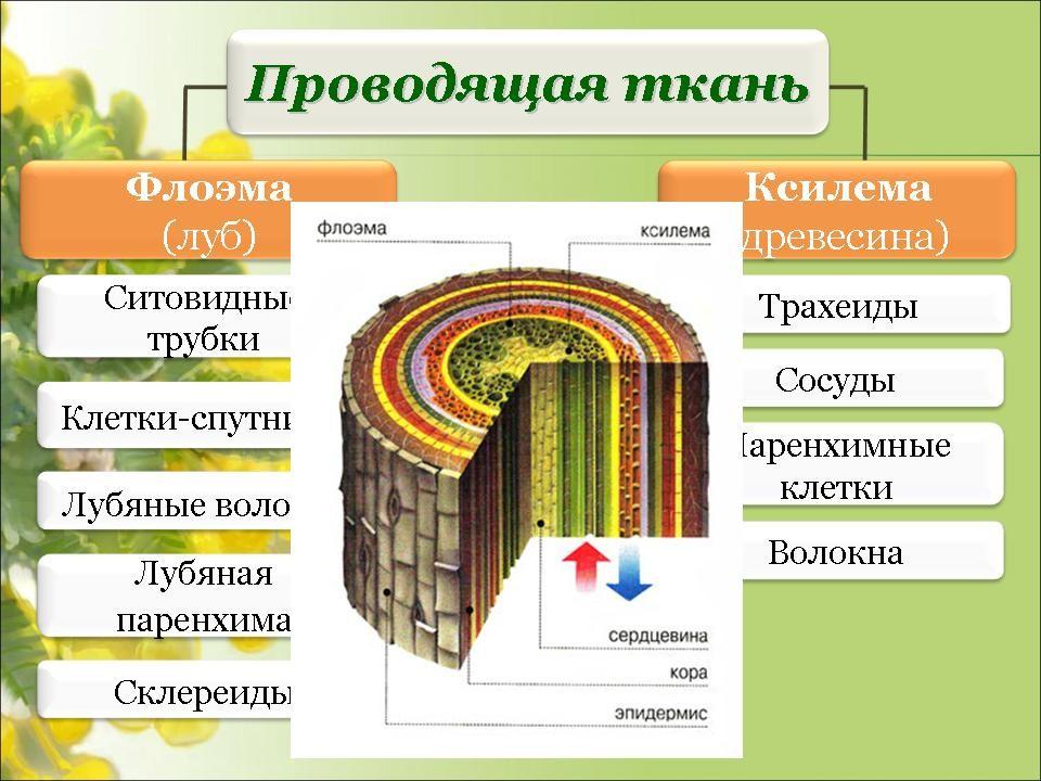 ткани растений. картинки