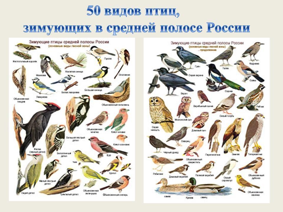 зимние птицы фото и названия
