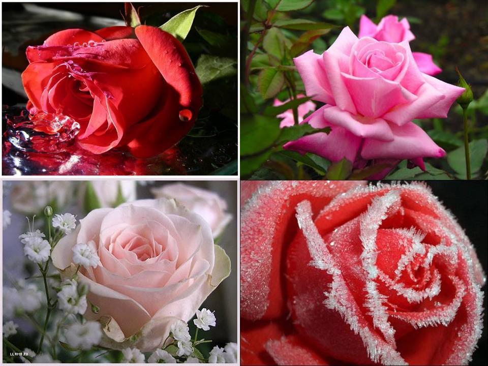 Сказка о розе