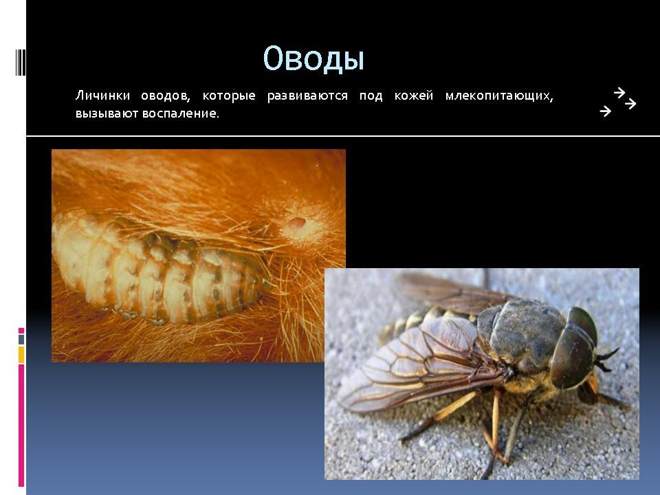 насекомые вредители человека