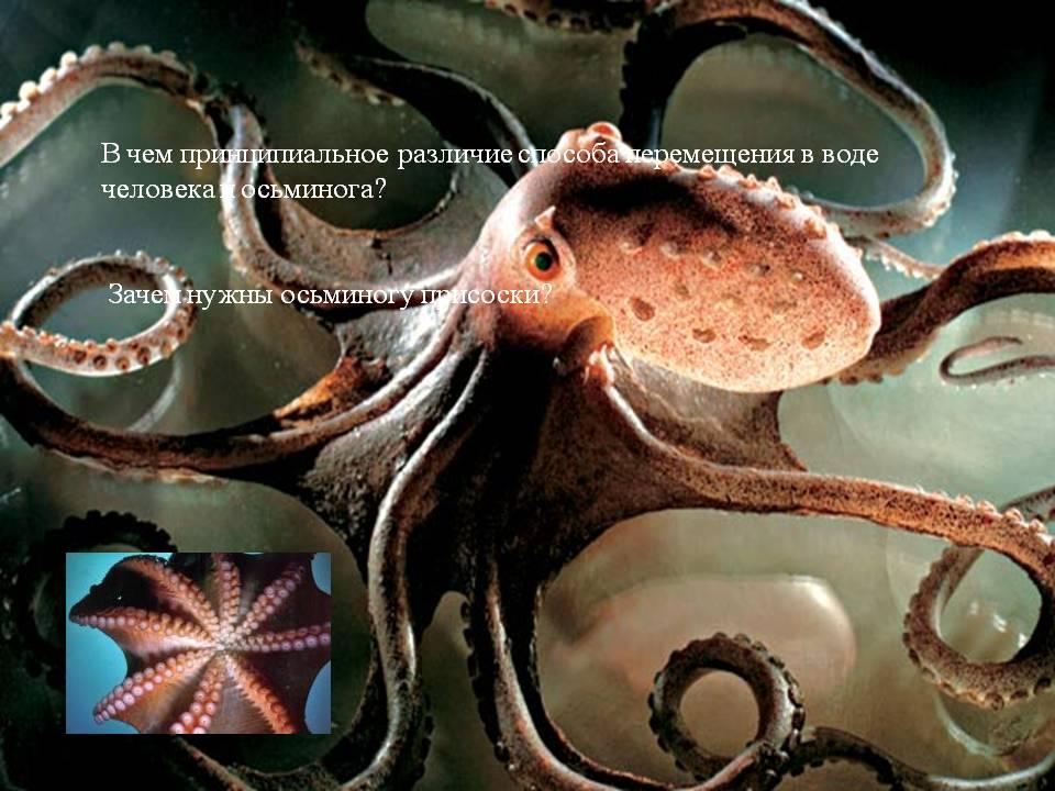 Специалисты установили, что осьминоги предпочитают использовать
