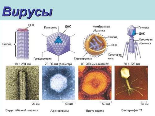 Реферат по биологии на тему вирусы и бактерии 3238