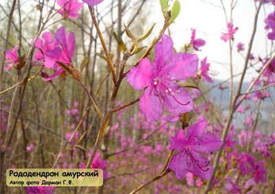 Растения амурской области