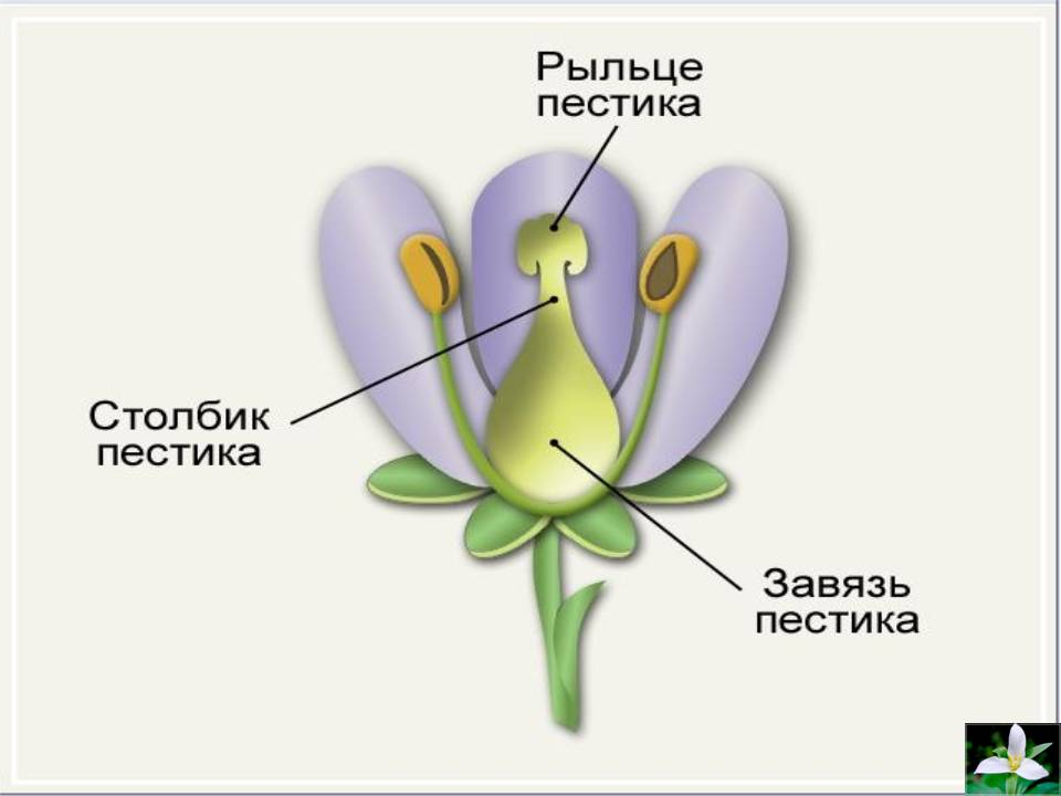 Строение цветка. 6-й класс