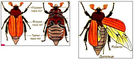 Рассмотрите крылья жука чем они отличаются и почему