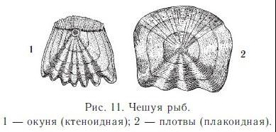 Чешуя — Википедия