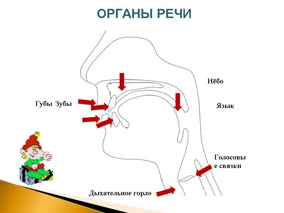 знакомство с органами речевого аппарата