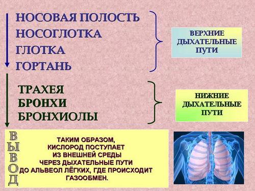 газообмен в лёгких и