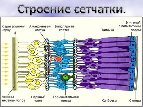 Урок биологии по теме глаз и зрение