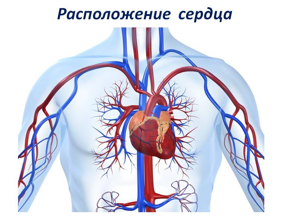 Доклад про сердце для детей 2094