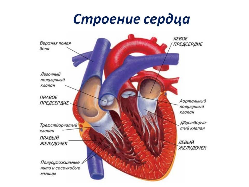 Реферат на тему строение и работа сердца человека 1349