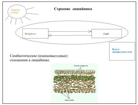 Переход от схемы строения к микроскопическому строению тела (слоевища) лишайника позволяет наглядно представить и...