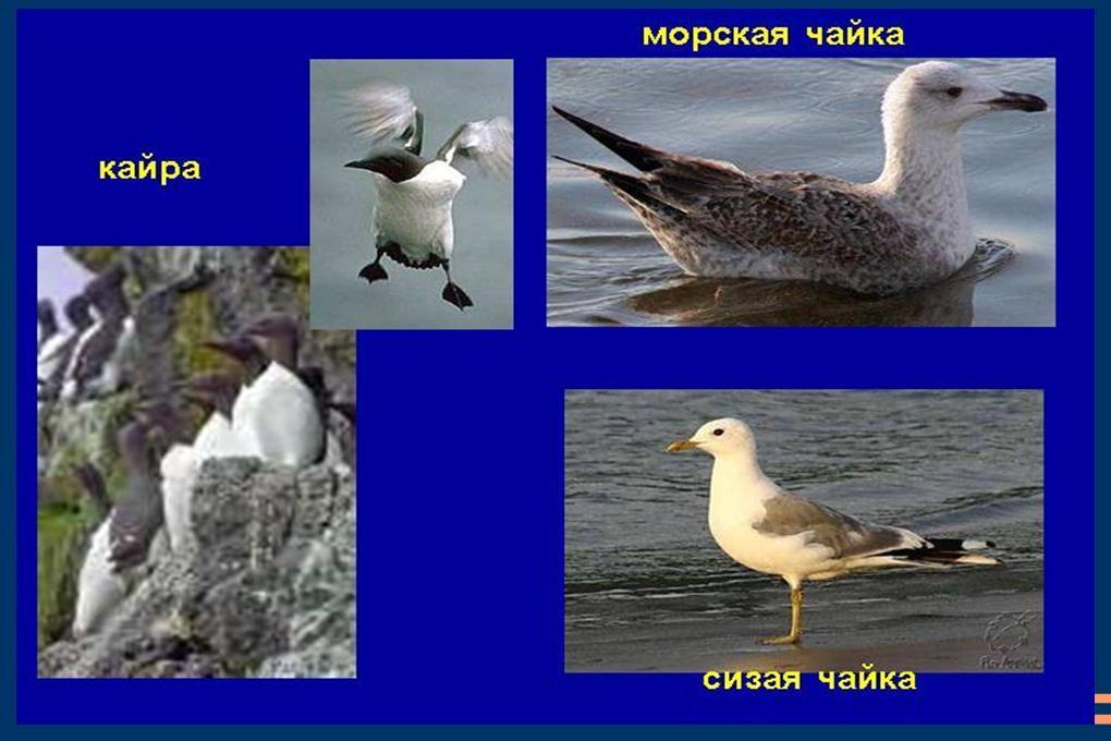 птицы арктической пустыни фото