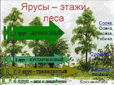 Ярусность леса схема.