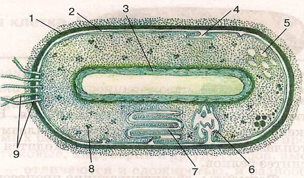 бактериальной клетки.