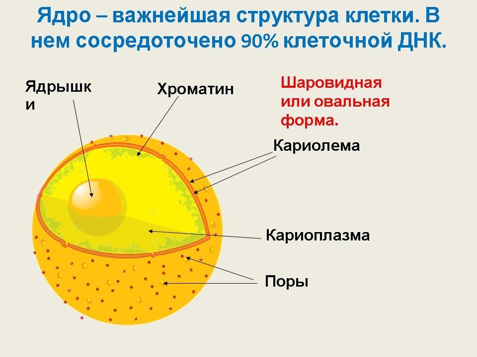 Нуклеоплазма фото