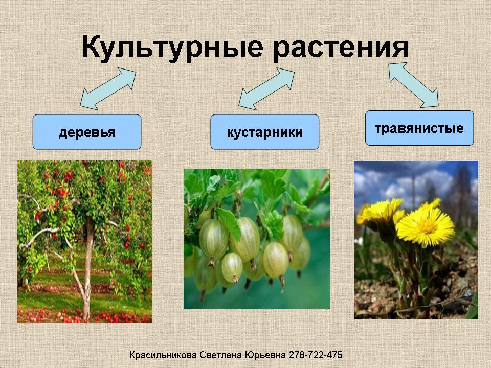 Скачать презентация к уроку окружающего мира по теме дикорастущие и культурные растения