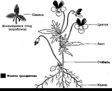 знакомство с внешним строением цветкового растения