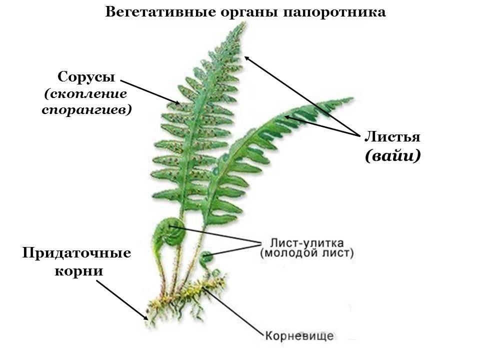 Доклад на тему папоротниковые растения 391